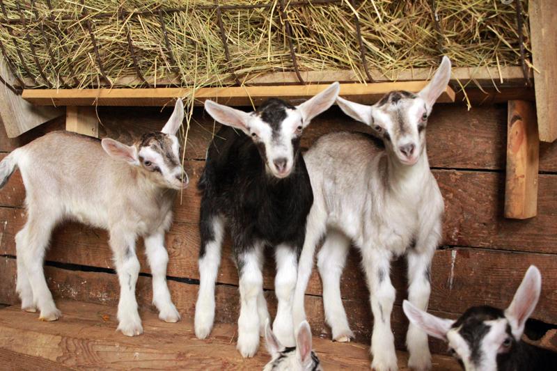 Baby goats at Pumpkin Vine Family Farm.