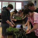 Students Transplant Heirloom Tomato Seedlings for Plant Sale