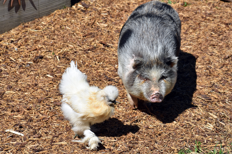 Maple the pig is rarely far from his friend Winnie, a silkie chicken. (Alexander Violo photo)