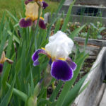 Iris Sale in Edgecomb