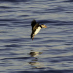 Tickets on Sale for Puffin Sunset Cruise