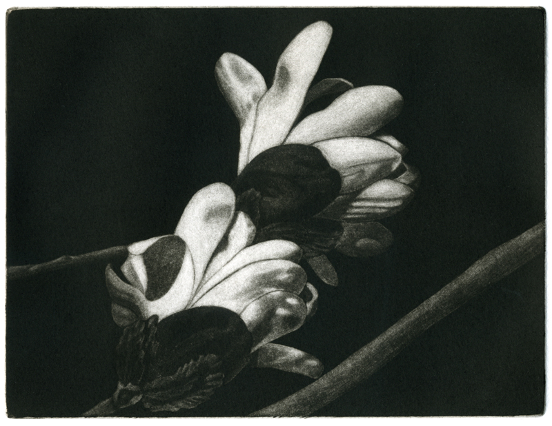 A mezzotint of a magnolia by Mary Boothby.