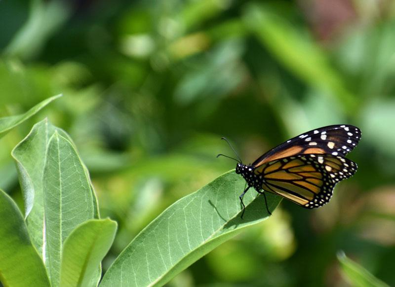 A monarch butterfly on Hog Island in Bremen. (Alexander Violo photo)