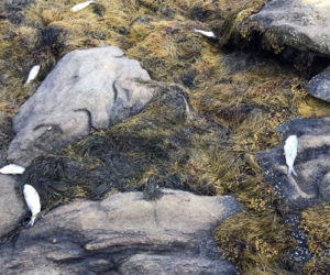 'Thousands' of Dead Pogies Wash Up on Shore of Greenland Cove