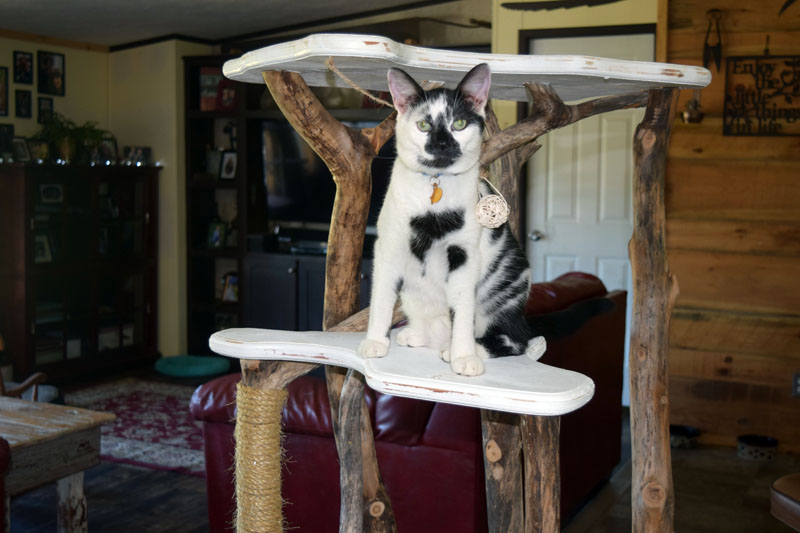 Smudge models a handmade cat tree at the Perkins home in Dresden. The Perkins family makes and sells cat products, including cat trees and catnip beds, under the name For the Love of Cats. (Jessica Clifford photo)