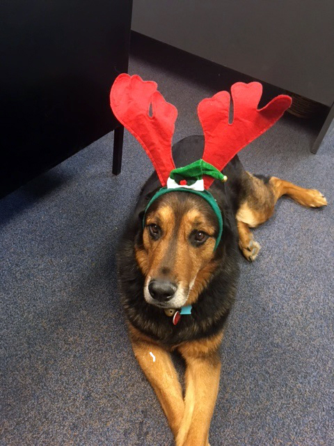 Chunk the dog wears his Christmas antlers.