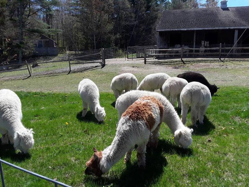 Rescue alpacas graze at TLC Fiber Farm in Waldoboro.