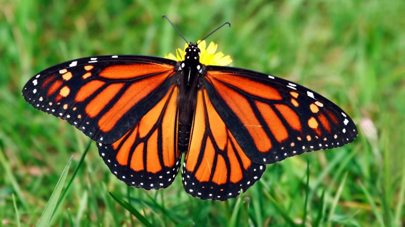 """Monarchs at the Beach"" is one of the fun explorations at Beachcombers' Rest Nature Center."