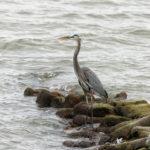 Mid-Coast Audubon to Host 'Birds of Belfast Bay' Program Sept. 20
