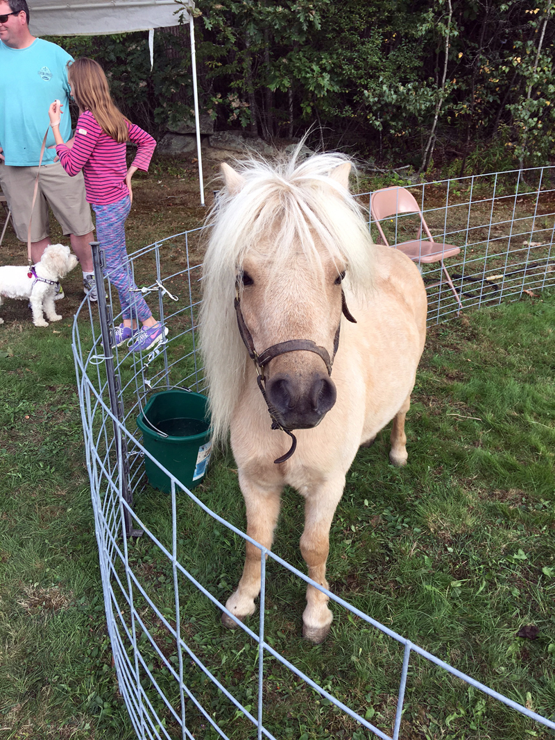 A miniature horse from Lyric Meadow Farm, whose animal friends will be at Boothbay Railway Village.
