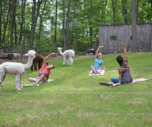 Westport Island Shop Has It All: Coffee, Knitting, and Yoga with Alpacas