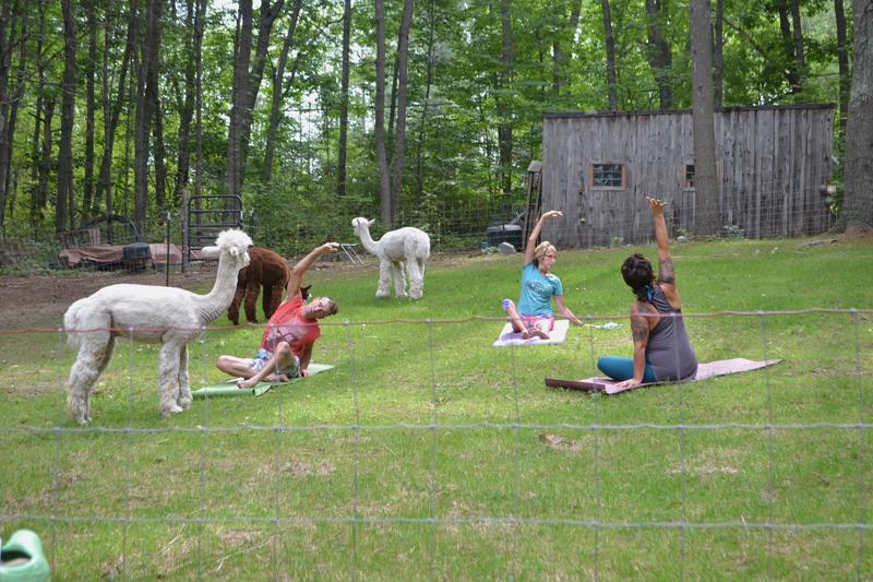 From left: Jeff Hefferon, Joyce Kinney, and instructor Sara Lentz practice yoga with the alpacas at Lulu's Barn on Westport Island on Aug. 25. (Charlotte Boynton photo)
