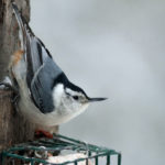 Order Soon for Mid-Coast Audubon Bird-Seed Fundraiser