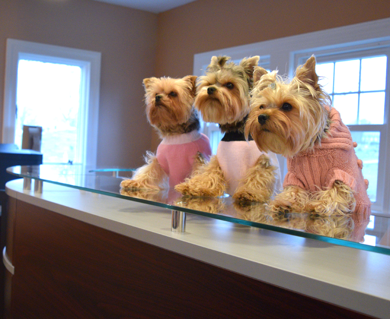 Dr. Thomas White and Annee White's three Yorkshire terriers jump on the glass desktop to greet patients when they arrive at Spine By Design. (Jessica Clifford photo)