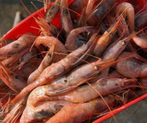 Regulators Block Maine Shrimp Fishery for Three More Years
