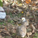 Leucistic Bird Seen in North Nobleboro