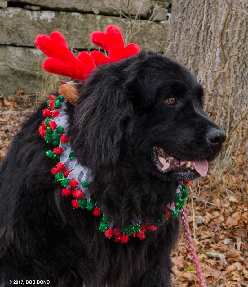 Fritz, the rescued Newfoundland, will be at the Friends of Wiscasset Public Library's shopping event just for children in his holiday attire on Saturday, Dec. 8, from 9 a.m. to 2 p.m. (Photo courtesy Bob Bond)