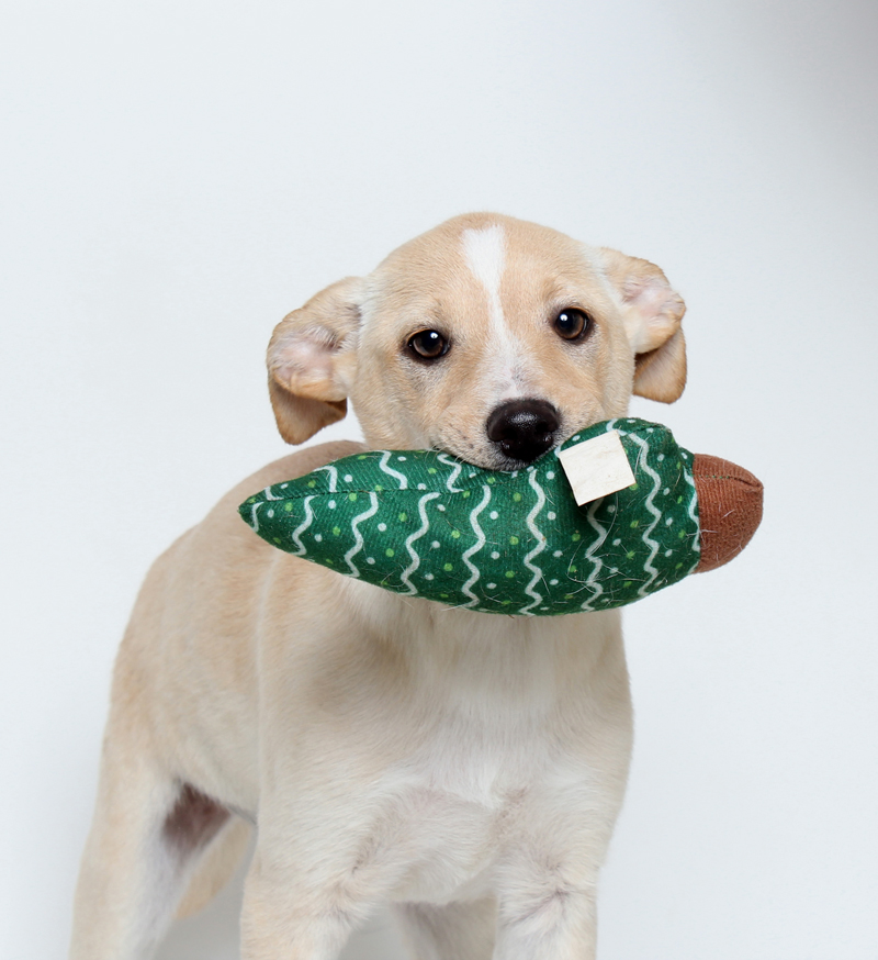Sadie, adopted earlier this year from Midcoast Humane, plays with her festive toy.