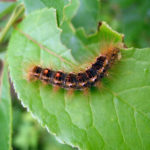 Browntail Moth Here to Stay