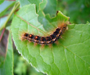 """<span class=""""entry-title-primary"""">Browntail Moth Here to Stay</span> <span class=""""entry-subtitle"""">Submitted article</span>"""