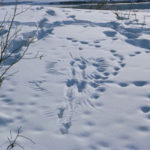 Winter Tracking, Wildlife Habitat Walk on Jan. 31