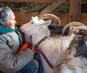 Import Restrictions Imperil Waldoboro Farm's Bid to Save Icelandic Goats