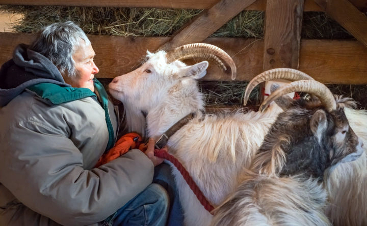 Jo Ann Myers, owner of Beau Chemin Preservation Farm in Waldoboro, with goats Stargazer and Starbaby. Stargazer, the all-white goat on the left, is 75 percent Icelandic goat, and Starbaby is 87 percent Icelandic goat. Their Icelandic names are Tigulldottir and Bobodottir, respectively. (Photo courtesy Melville McLean)