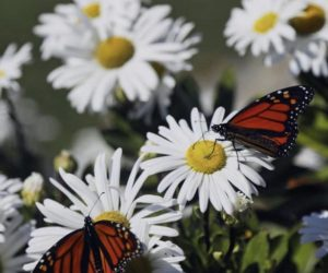 """<span class=""""entry-title-primary"""">Planting Native Milkweed and Wildflowers to Help Monarch Butterflies Thrive</span> <span class=""""entry-subtitle"""">Submitted article</span>"""