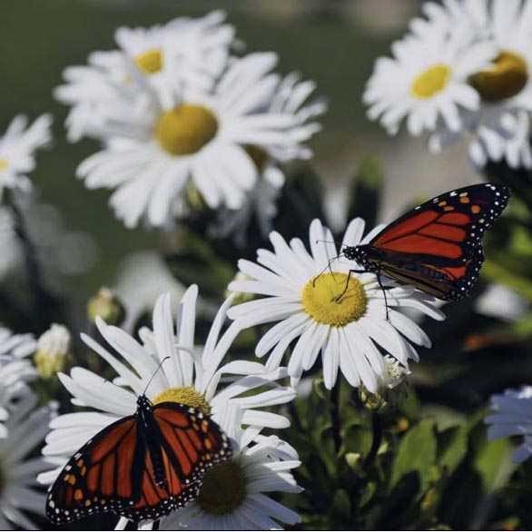 Monarch butterflies near the Pemaquid Point Lighthouse. (Photo courtesy Thomas W.P. Slatin)