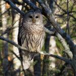 Midcoast Conservancy Winter Owl Prowl