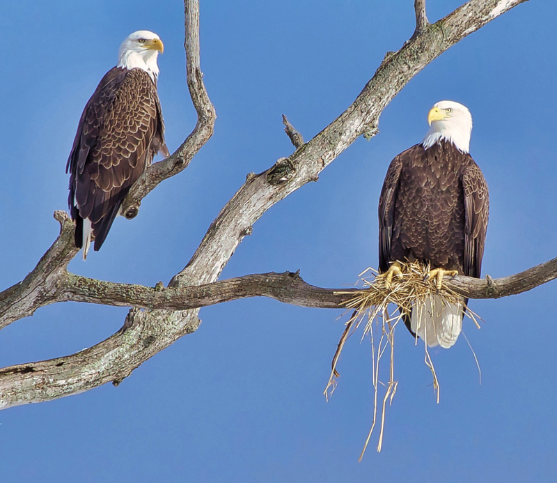 Kenny Ames, of Waldoboro, received the most votes with his photo of a pair of bald eagles to become the second monthly winner of the 2019 #LCNme365 photo contest. Ames will receive a $50 gift certificate to Rising Tide Co-op, of Damariscotta, the sponsor of the February contest.