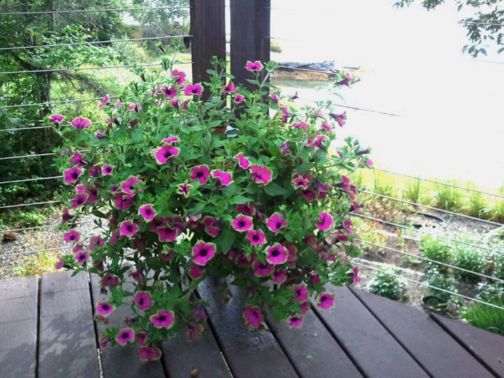 """""""We reuse our own large flower pots and hanging baskets each year, placing them on our large deck overlooking the harbor,"""" says LCN reporter Candy Congdon. (Candy Congdon photo)"""
