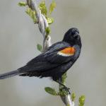 Bird Identification Walks in Waldoboro, Friendship
