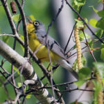 Midcoast Conservancy Offers Two Bird Identification Walks