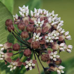 Native Plant Sale at Midcoast Conservancy