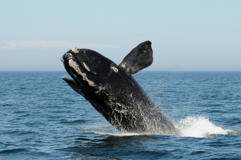 A North Atlantic right whale breaches. (Photo courtesy Anderson Cabot Center for Ocean Life, New England Aquarium)
