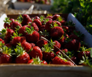 A bin of freshly picked strawberries in a field at Sheepscot General. The farm has been offering pick-your-own stawberries since July 3. (Photo courtesy Ben Marcus)