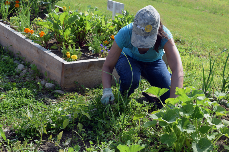 Ingrid Merrill, volunteer coordinator of the Edgecomb Eddy School and Family Garden, weeds the garden July 9. (Jessica Clifford photo)