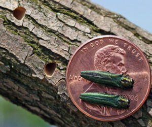 The emerald ash borer is now found in the St. John Valley and in York County. Beetle larvae feed under tree bark, pupae overwinter in the wood, and the tiny adults emerge in spring leaving D-shaped exit holes. (Photo courtesy Maine Department of Agriculture, Conservation, and Forestry)