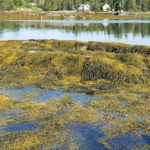 Commentary: The Truth About Maine's Rockweed Industry