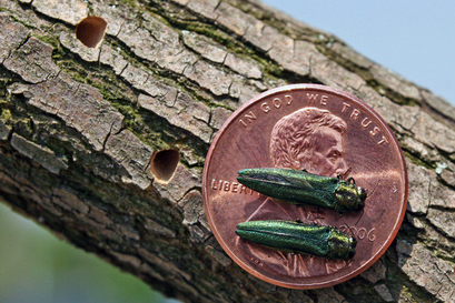 The emerald ash borer is now found in the St. John Valley and in York County. Beetle larvae feed under tree bark, pupate overwinter in the wood, and the tiny adults emerge in spring, leaving D-shaped exit holes.
