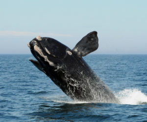 A North Atlantic right whale breaches in the Bay of Fundy. During a Cafe Sci event at Bigelow Laboratory for Ocean Sciences on uesday, Aug. 13 at 5 p.m., researcher Nick Record will discuss the environmental changes impacting right whales in the Gulf of Maine and how conservation strategies can keep up. (Photo courtesy Anderson Cabot Center for Ocean Life, New England Aquarium)