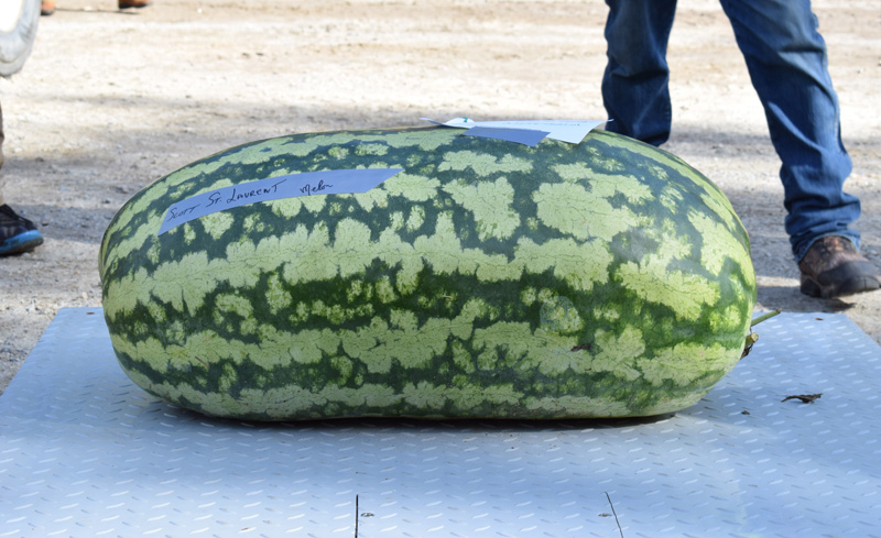 Damariscotta Pumpkinfest co-founder Bill Clark declared this 159.5-pound watermelon, grown by Scott St. Laurent, to be the largest watermelon grown in Maine. (Evan Houk photo)