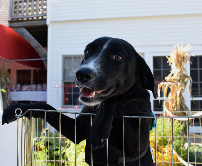 Posh, a dog up for adoption from Underhound Railroad, attends the Action for Animals Maine launch party and Underhound Railroad adoption event at Brady's restaurant in Boothbay Harbor on Sunday, Sept. 29. (Jessica Clifford photo)