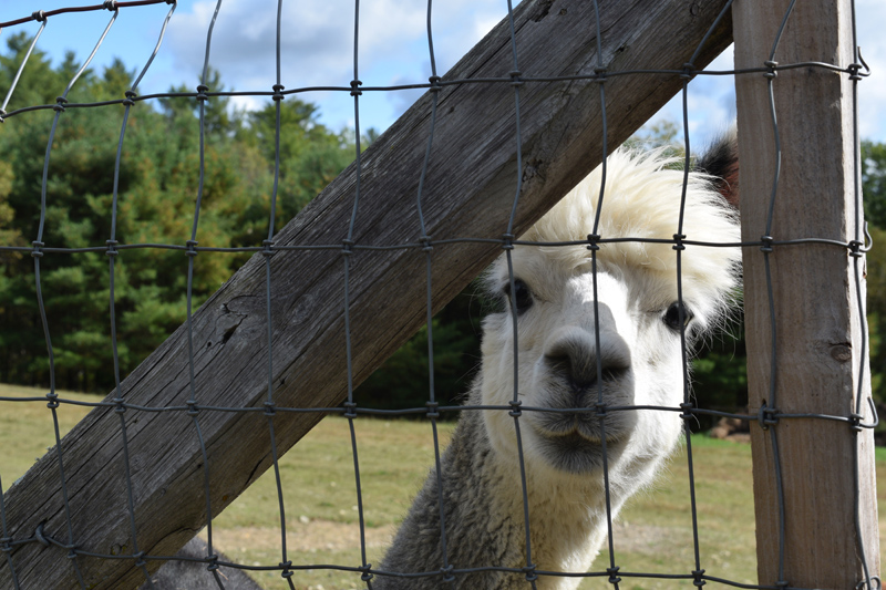 Paco the alpaca peeks through a fence. Nineteen alpacas roam about the Maine Alpaca Barn in Whitefield. (Jessica Clifford photo)