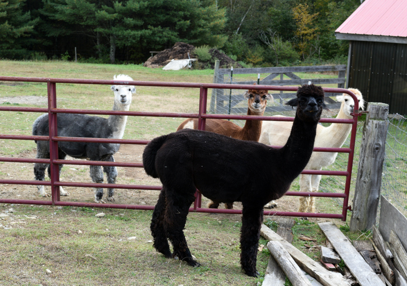 Alpacas smile for the camera at the Maine Alpaca Barn in Whitefield. (Jessica Clifford photo)