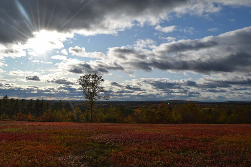 A sunny view of the wild blueberry field at Bluefields Farm in Whitefield. (Jessica Clifford photo)
