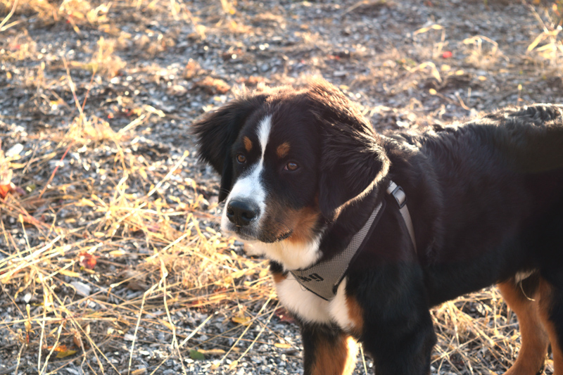 Max is Tony and Marianne Marple's Bernese mountain dog. (Jessica Clifford photo)