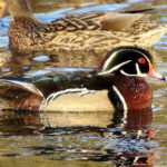 Mid-Coast Audubon Field Trip to Sabattus Pond