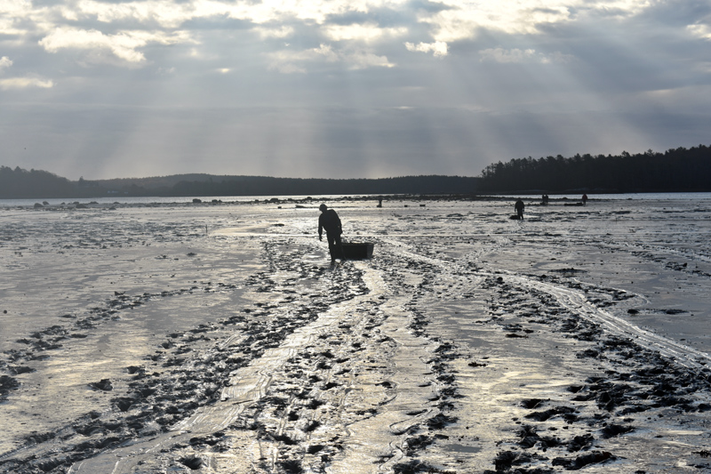 A shellfish harvester hauls a jet sled across Broad Cove to collect clam samples as part of a study to determine whether the traditional method of brushing works to increase clam populations. (Alexander Violo photo)